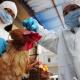 秋季开始对家禽全面开展H7N9免疫