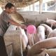 环保风暴后 养殖户就能安心养猪了?