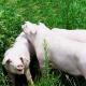 美国优质种猪顺利落户山东滨州