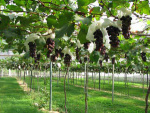 《葡萄一年六熟技术》《葡萄六主枝V形树型