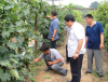 家庭种植葡萄应如何剪枝?