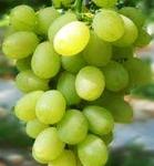陕西及新疆南疆地区葡萄发展浅析