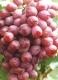 葡萄夏季的追肥