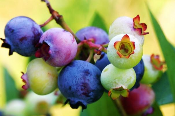 蓝莓果的功效