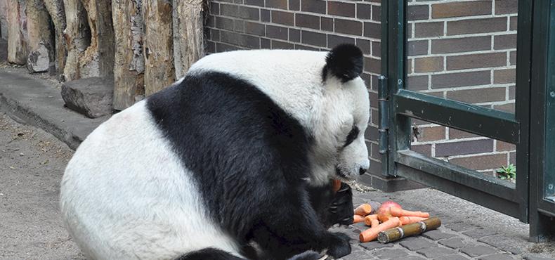 旅法大熊猫日前产子,近照曝光