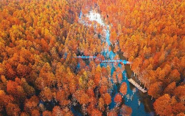 秋染红杉林