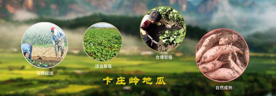 卞莊嶺(前后卞莊)貧困戶黃皮黃壤地瓜進入收獲期