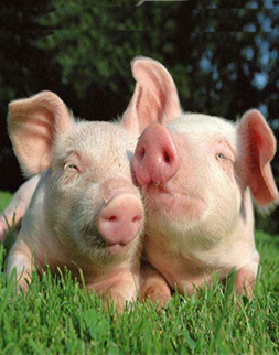 哈尔滨种猪拍卖会