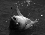 餌料配方冬季專攻鯽魚鯉魚