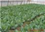 """喜庆十九大 今朝更好看 蔬菜种植基地 丰富市民""""菜篮子"""""""
