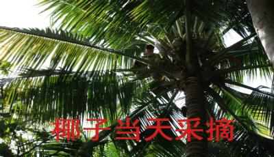 1. 椰子当日采摘