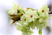 樱花之美不仅仅限于花朵