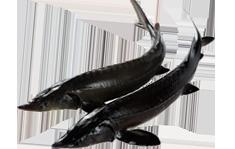 鲜活鲟龙鱼