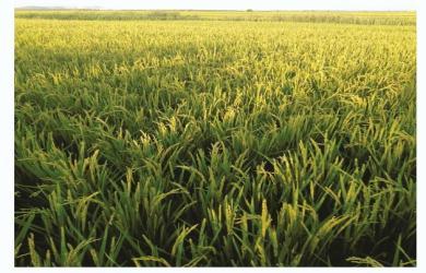 水稻抽穗期
