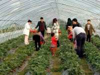 草莓基地现场采摘
