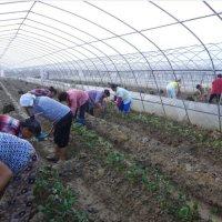 草莓基地现场工作