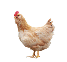 胡须鸡 福安胡须鸡 走地鸡