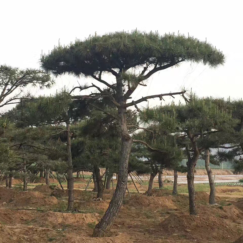 景观松基地