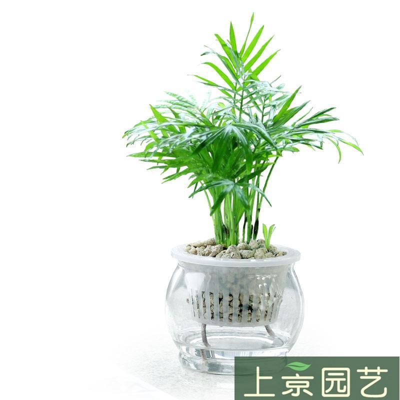 水培袖珍椰子.jpg