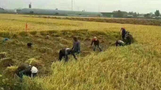 五常大米陷入被假冒危机米农哭诉真五常大米滞销