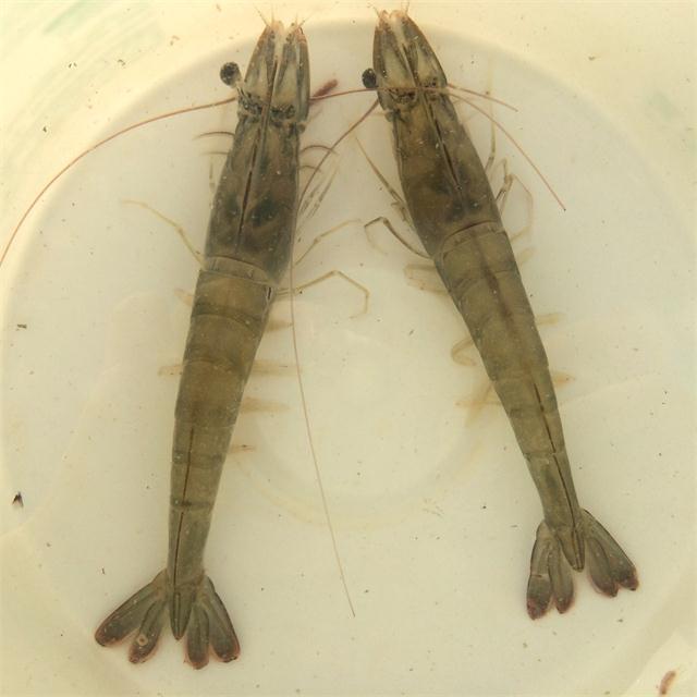 由SIS迈阿密厂区进口回来的SPF亲虾.JPG