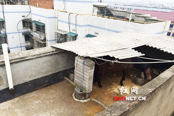 岳麓区天马公寓潇湘大厦楼顶养了一匹马,地上的粪便味很重引邻居投诉。