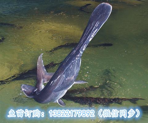 鸭嘴鱼 1.jpg