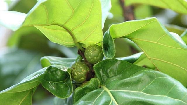 琴葉榕的養殖方法和注意事項