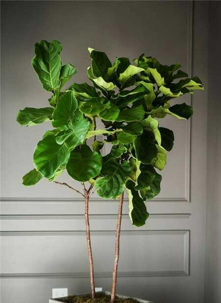 琴葉榕養殖圖片