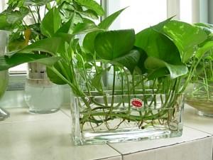 綠蘿的養殖方法