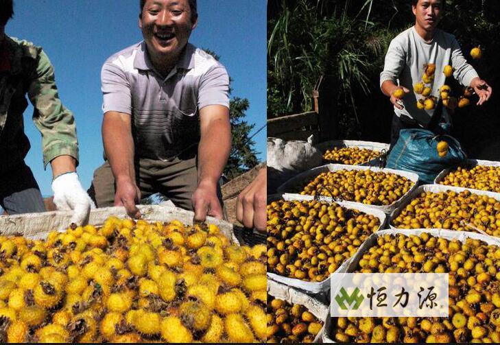 刺梨全身都是宝,除了刺梨果外,刺梨枝条也能卖到好价钱