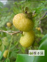 刺梨汁中游离态和键合态香气活性成分分析