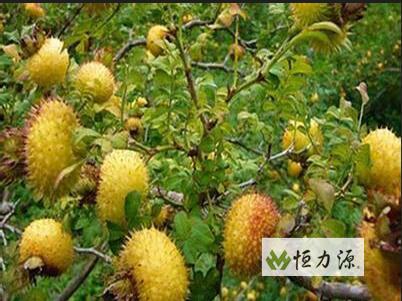 刺梨汁中游离态和O-糖苷键合态香气活性物质分别