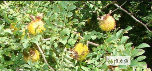 刺梨总三萜为该植物的主要活性成分g