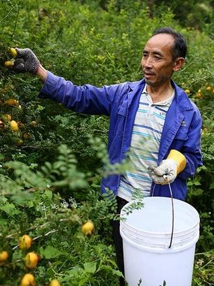 春季不同时期及不同氮肥对刺梨春梢生长的影响的分析如果