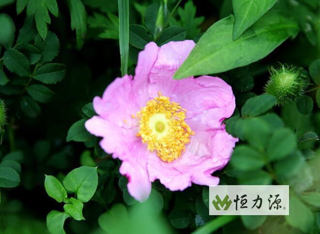 刺梨饮料 (13).jpg