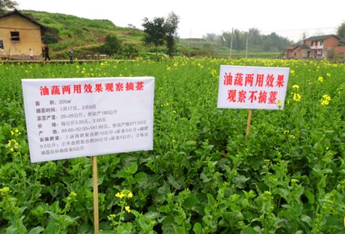 """重庆市种植业主推技术——双低油菜""""油蔬两用""""种植技术"""