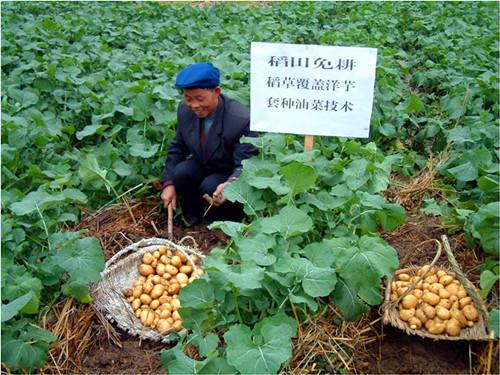 重庆市种植业主推技术——薯/油免耕轻简化栽培技术