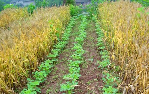 图片3  麦豆套种