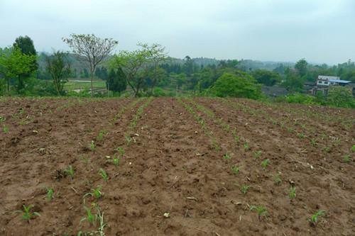 重庆市种植业主推技术——玉米-大豆带状复合种植技术