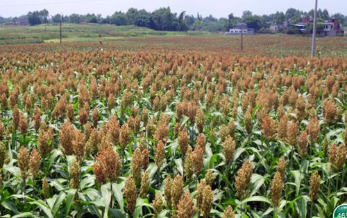 重庆市种植业主推技术——再生高粱高产高效种植技术