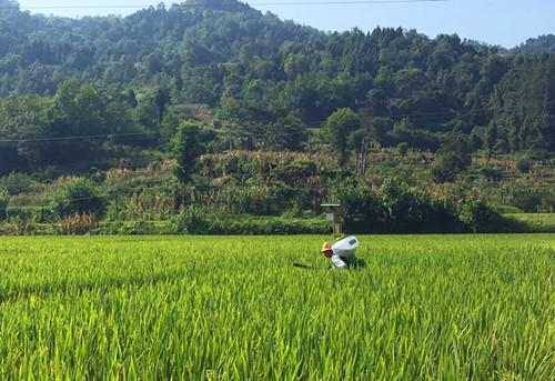 重庆市种植业主推技术——再生稻标准化高效栽培技术