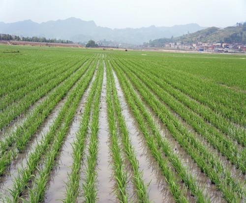图片3  水稻宽窄行栽培分蘖期长势