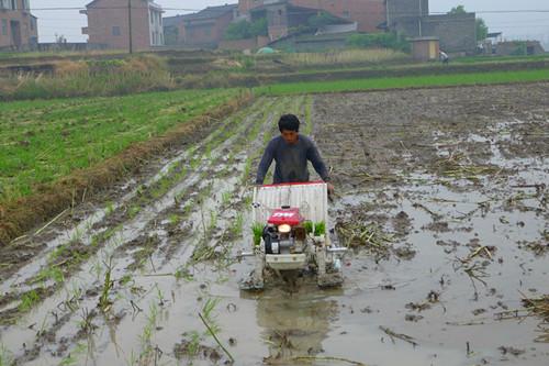 图片4 稻-油轮作田机插