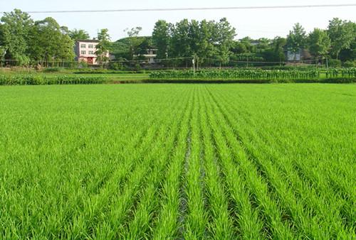 图片5 水稻机插栽培分蘖期长势