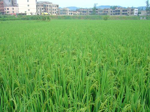 图片6 水稻机插栽培穗期长势