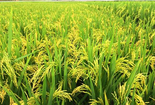 图片7 水稻机插栽培灌浆成熟