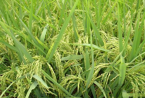 图片5  水稻抛秧栽培灌浆成熟