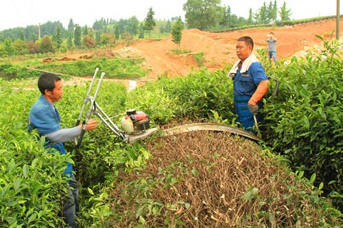 图片1 茶树修剪