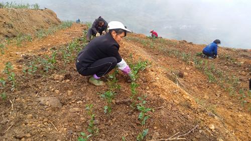 图片1 茶苗栽植